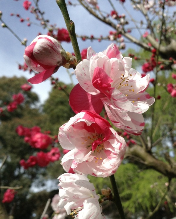 Double flowering peach