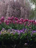 purple tulip and cherry blossom